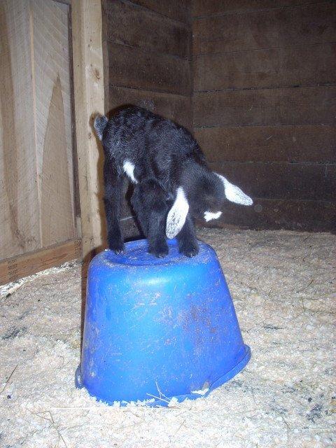 Oreo_queen_of_the_bucket