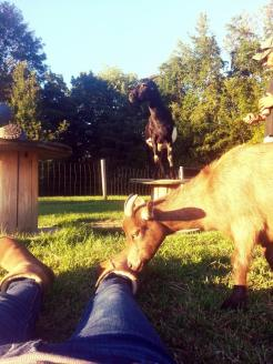 goat sniff